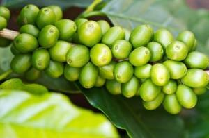 Правда и мифы о зеленом кофе